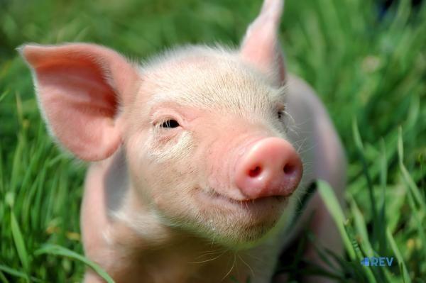 Пересадка штучних кісток свиням
