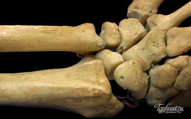 Кістки людини. Цікаві факти про людське тіло