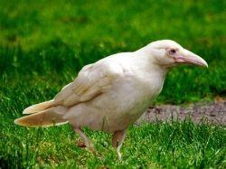 Вираз «біла ворона» що значить?